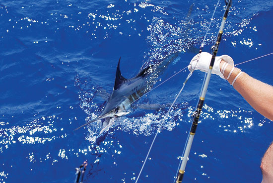 Albatross Fleet sailfish catch