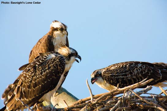 Outer Banks Ospreys