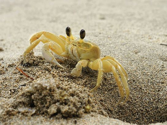 Ghost Crab on Outer Bank Beach
