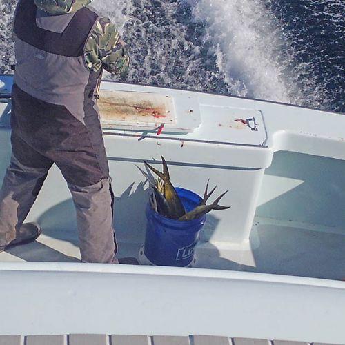 Tuna Duck Sportfishing, Mahi Today