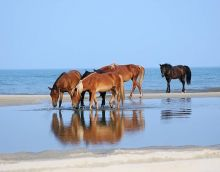 Support the N.C. state horses at Corolla Wild Horse Days