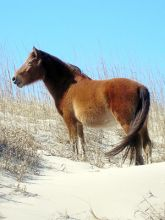 Support Corolla's wild ponies at two events this week.