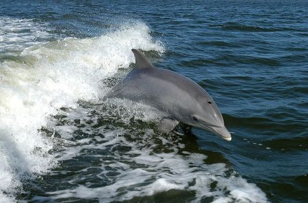 Captain Johnny's Dolphin Tours, Afternoon Dolphin Watch