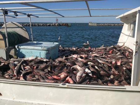 Oden's Dock, Shark Fishing