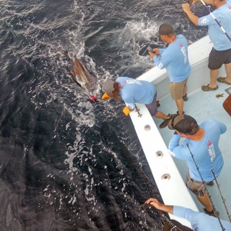Tuna Duck Sportfishing, Blue Marlin Release For Team Pelagic Whislte