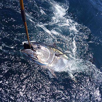 Tuna Duck Sportfishing, 80 Pound Class Bluefin