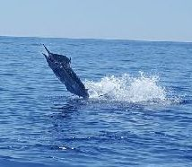 Tuna Duck Sportfishing, Blue Marlin Released