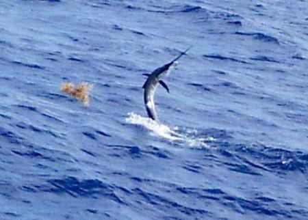 Tuna Duck Sportfishing, Sailfish Releade
