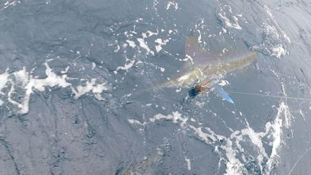 Tuna Duck Sportfishing, White Marlin Release