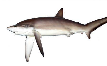 Graveyard of the Atlantic Museum, Salty Dawgs Lecture Series: Nineteenth Century Shark Attacks Along the Carolina Coast