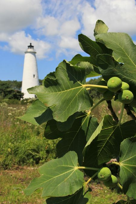 Visit Ocracoke, Annual Fig Festival