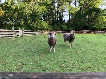 Island Farm, Sheep to Yarn