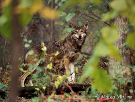 Alligator River National Wildlife Refuge, Red Wolf Howling