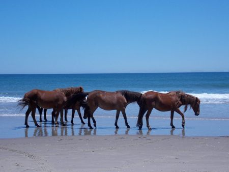 Corolla Wild Horse Museum, Learn About Corolla's Wild Horses