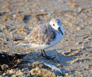 Hatteras Island Ocean Center, Birding the Barrier Islands