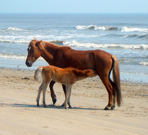 Corolla Wild Horse Tours, Family Adventure — Morning Horse Tours